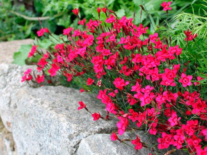 pochvopokrovnye-rasteniya-foto-nazvanie-i-opisanie-czvetov-6