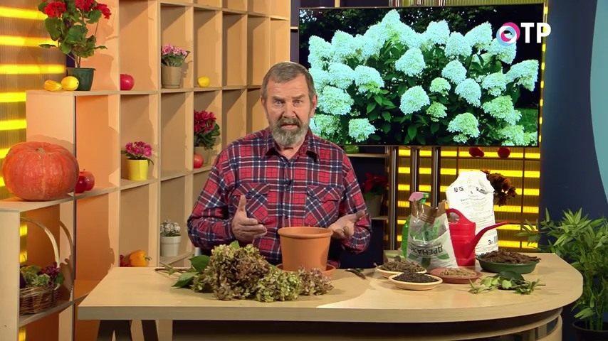 razmnozhenie-gortenzii-metelchatoj-odrevesnevshimi-cherenkami-osenyu