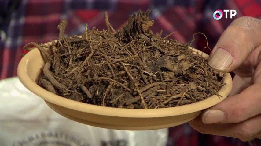 razmnozhenie-gortenzii-metelchatoj-odrevesnevshimi-cherenkami-osenyu-02