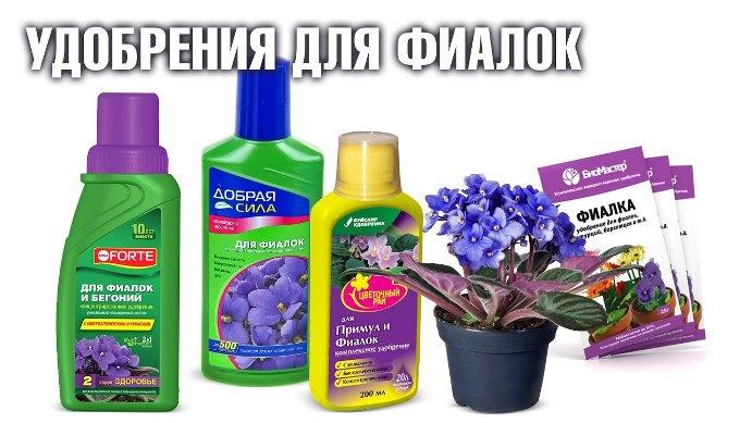 fialka-foto-opisanie-vidy-senpolii-posadka-i-uhod-v-domashnih-usloviyah-13