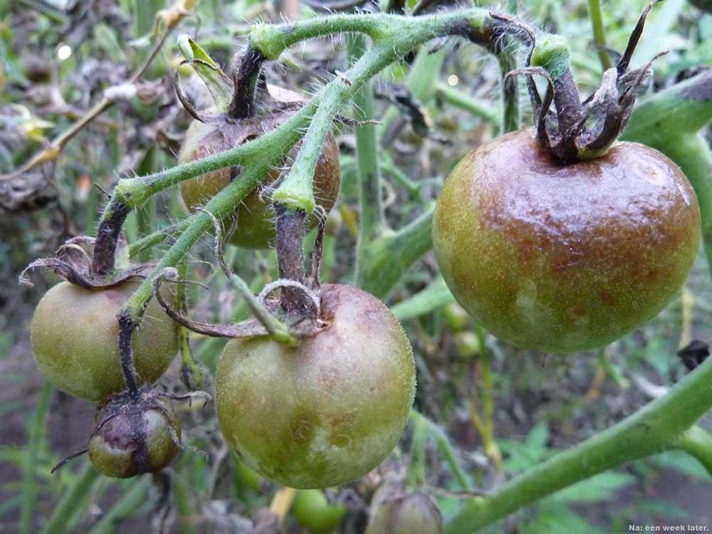 fitoftora-na-pomidorah-foto-simptomy-himicheskie-i-narodnye-metody-borby
