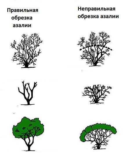 azaliya-foto-opisanie-uhod-v-domashnih-usloviyah-33