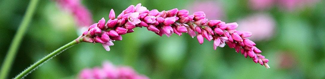 gorecz-pochechujnyj-foto-opisanie-travy-lechebnye-svojstva-primenenie-1