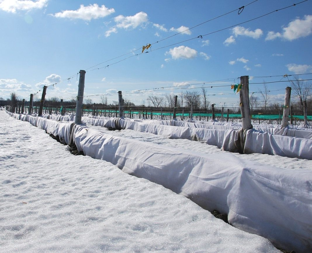 kak-ukryt-vinograd-na-zimu-podgotovka-vinograda-k-zimnim-holodam-5