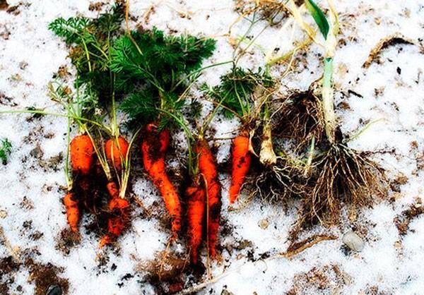 morkov-pod-zimu-kogda-sazhat-chto-delat-vesnoj-1