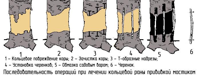 obrezka-derevev-postradavshih-ot-morozov-4