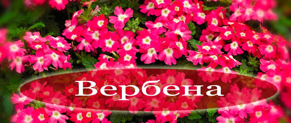 verbena-foto-vidy-verbeny-kak-posadit-i-uhazhivat-za-czvetkom-1