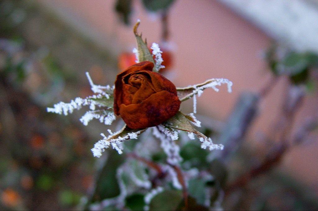 kak-sohranit-rozy-zimoj-sposoby-ukrytiya-i-zashhity-sadovyh-roz