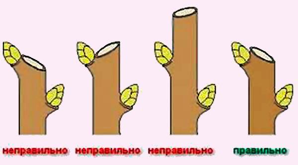 kak-obrezat-grushu-kogda-luchshe-provodit-obrezku-grushi-8