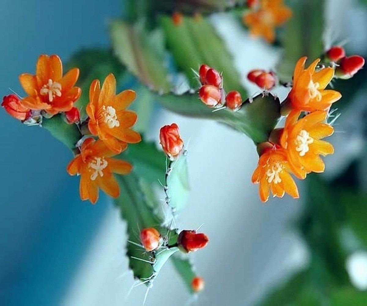lesnoj-kaktus-foto-opisanie-akantoripsalisa-vyrashhivanie-i-uhod-1