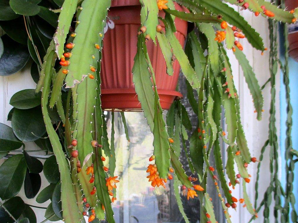 lesnoj-kaktus-foto-opisanie-akantoripsalisa-vyrashhivanie-i-uhod-2