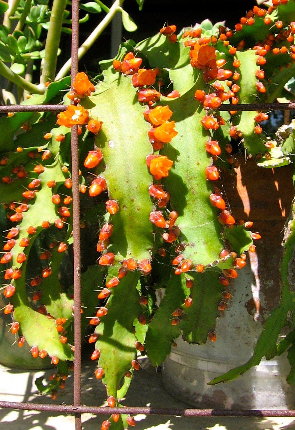 lesnoj-kaktus-foto-opisanie-akantoripsalisa-vyrashhivanie-i-uhod-4