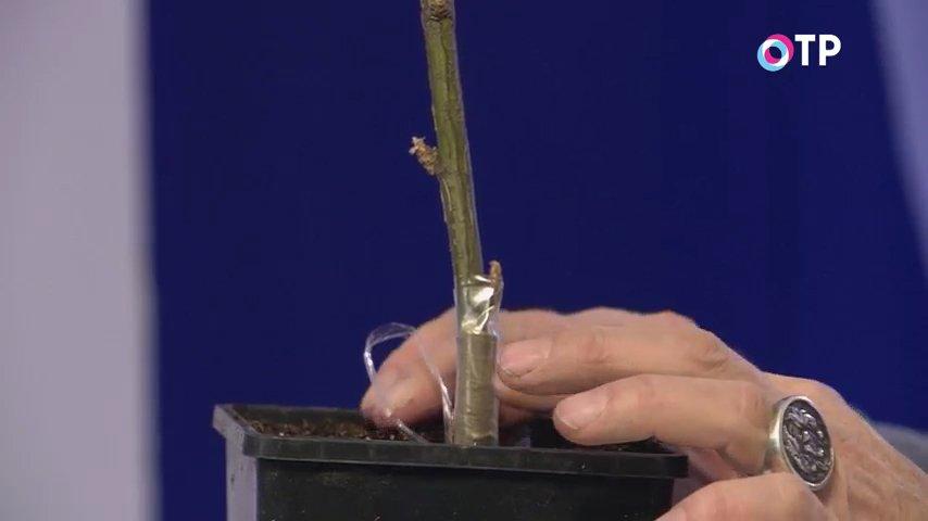 razmnozhenie-drevovidnyh-pionov-privivkoj-udachnye-sovety-7