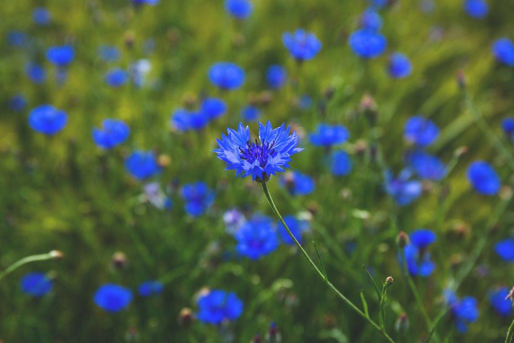 vasilek-sinij-foto-opisanie-primenenii-lechebnye-svojstva