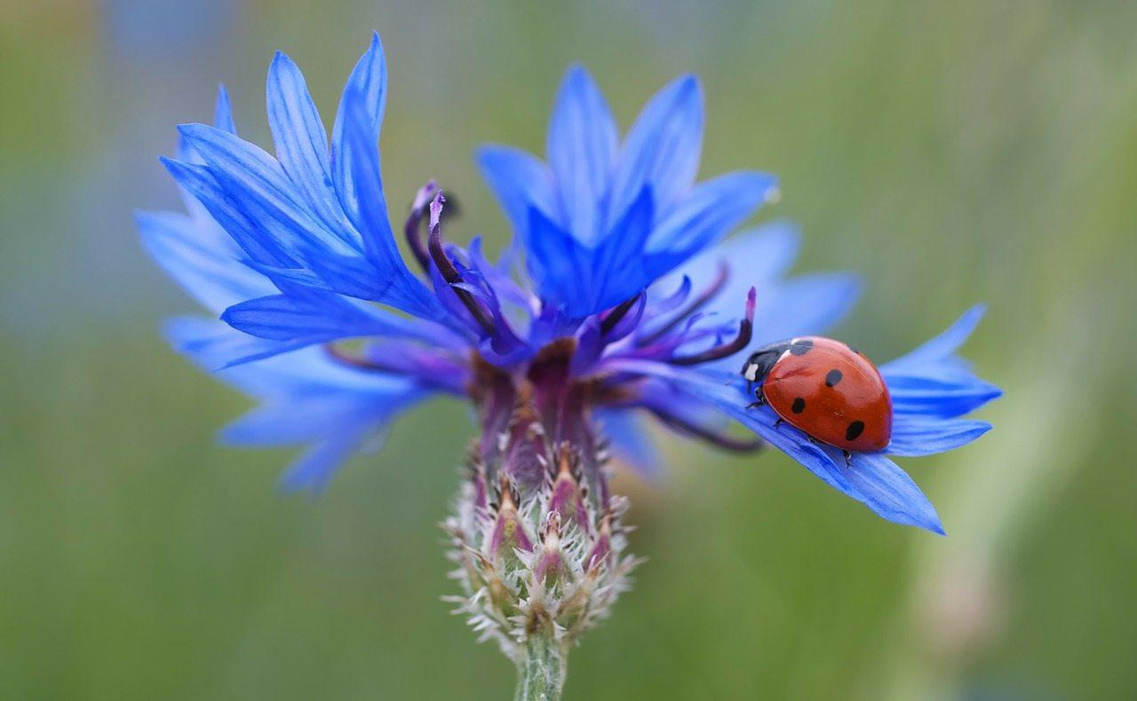 vasilek-sinij-foto-opisanie-primenenii-lechebnye-svojstva-1