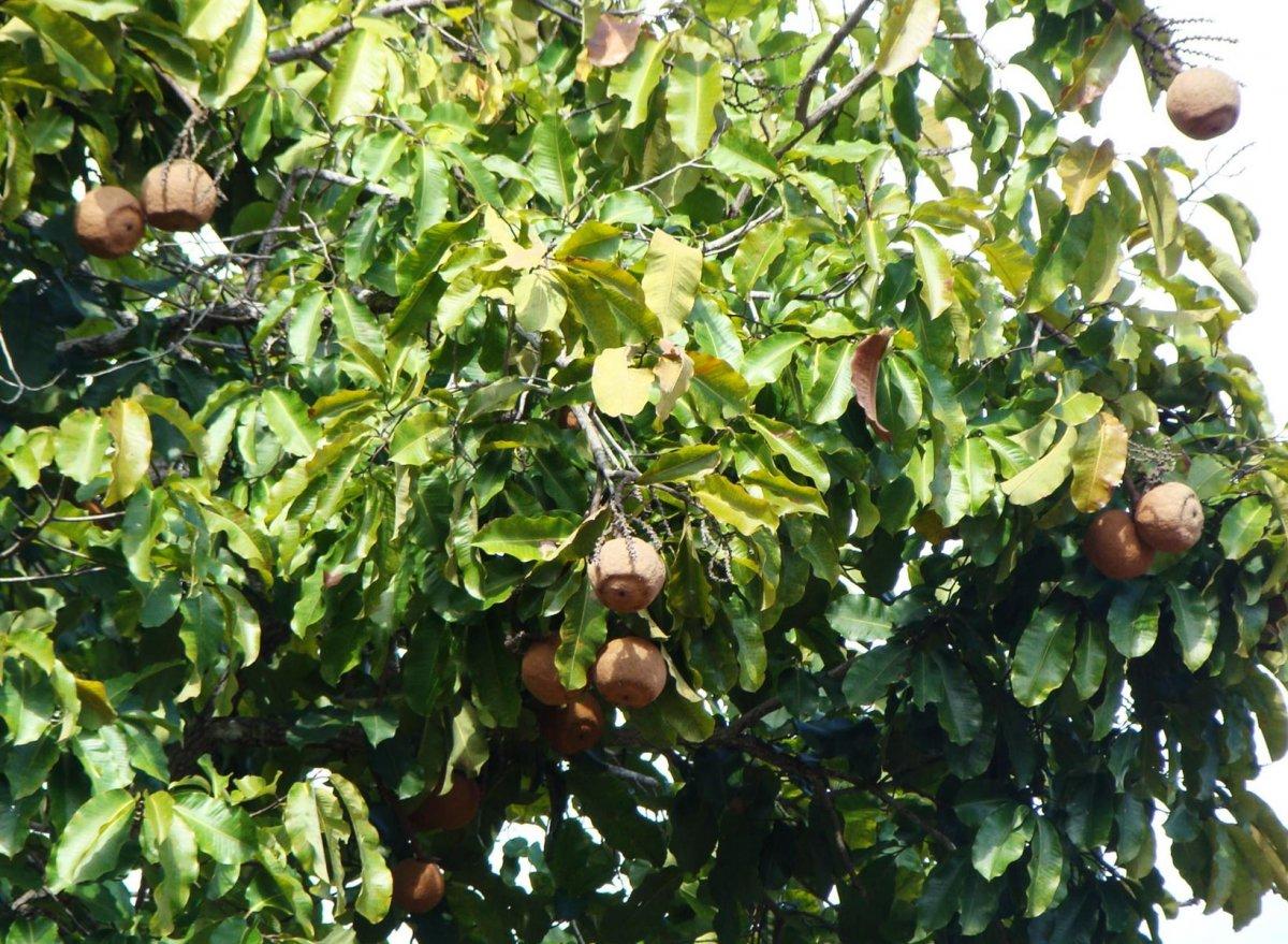 tropicheskie-plody-rastenij-kotorye-my-edim-foto-opisanie-9