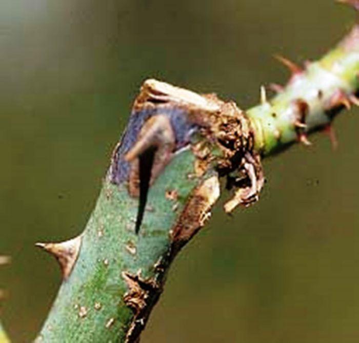 infektsionnyj-ozhog-roz-foto-opisanie-lechenie-05