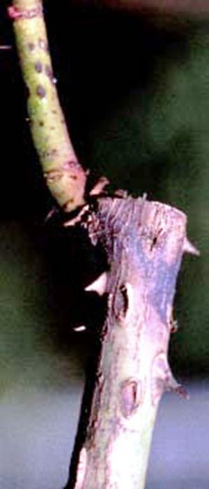 infektsionnyj-ozhog-roz-foto-opisanie-lechenie-06