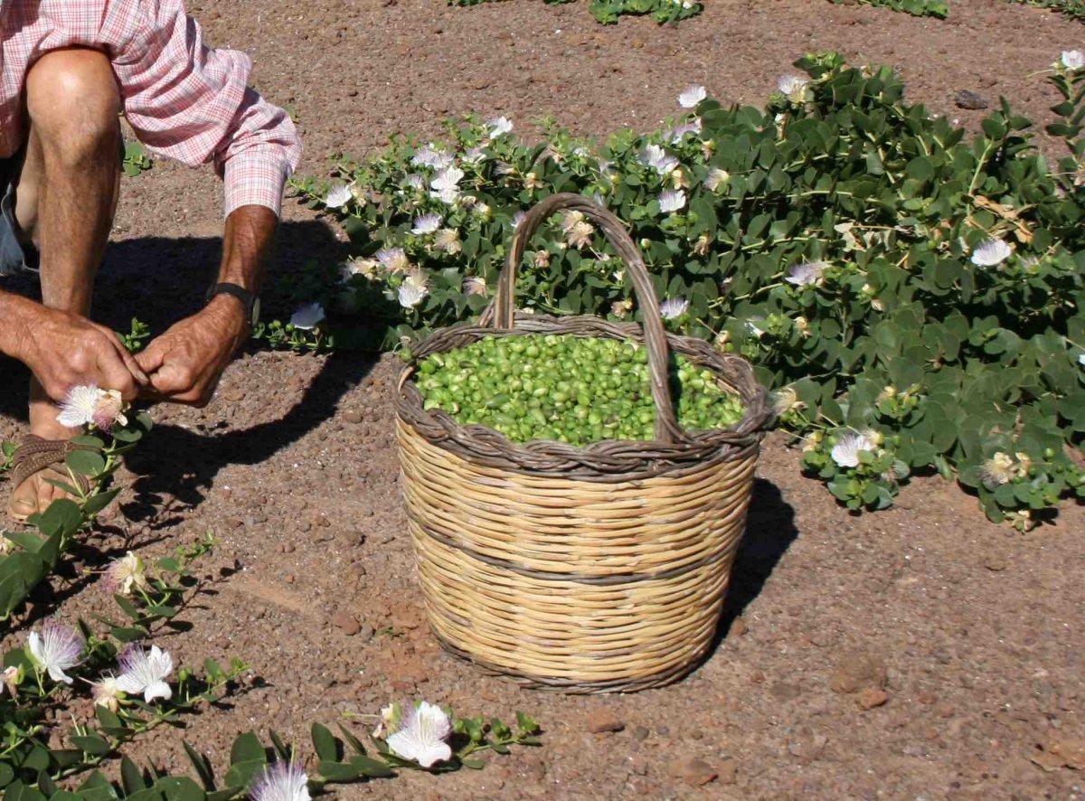 tropicheskie-plody-rastenij-kotorye-my-edim-foto-opisanie-3
