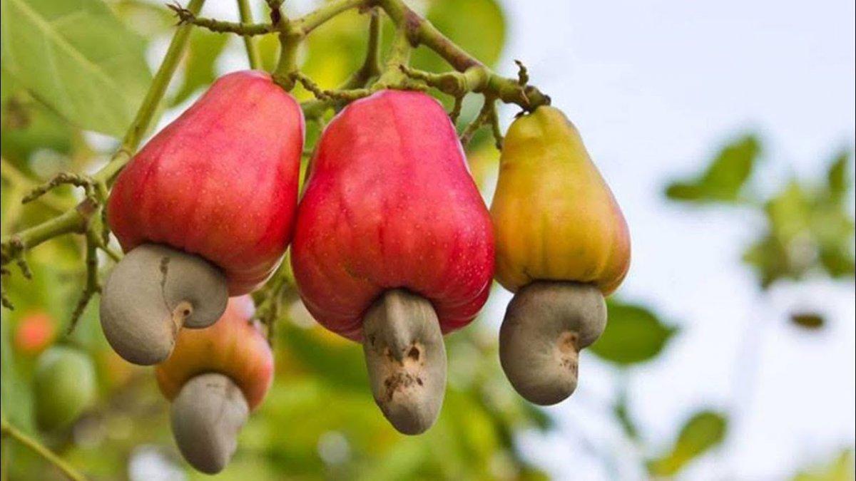 tropicheskie-plody-rastenij-kotorye-my-edim-foto-opisanie-1