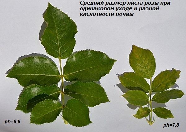 posadka-roz-foto-rekomendatsii-posadka-v-otkrytom-grunte-5