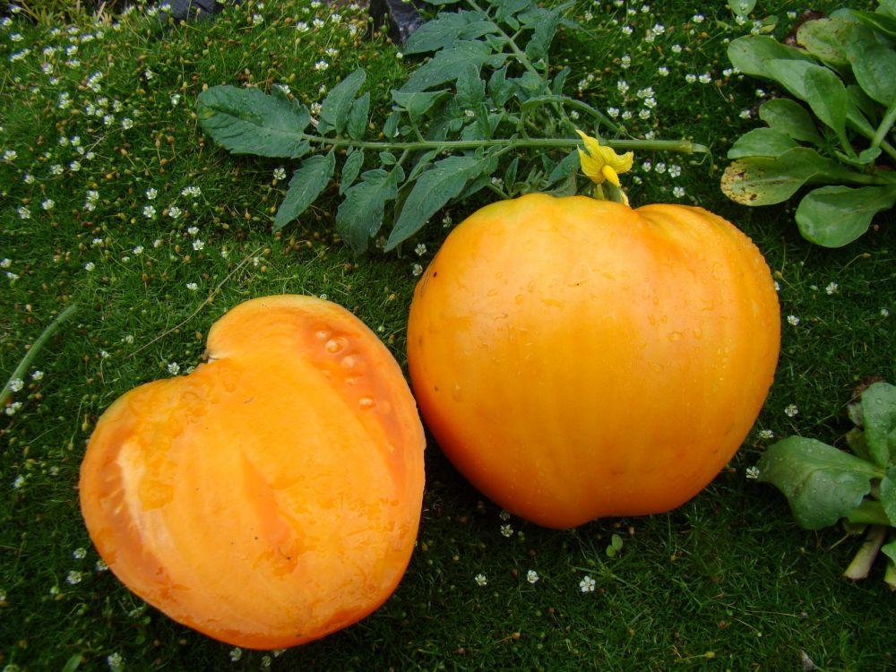 pomidory-dlya-teplits-foto-video-luchshie-novye-sorta-nazvaniya-opisanie-6