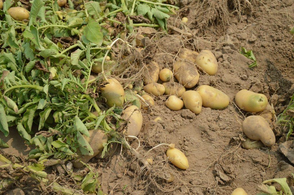 товаров как начинает расти картошка фото организаций услуг любом