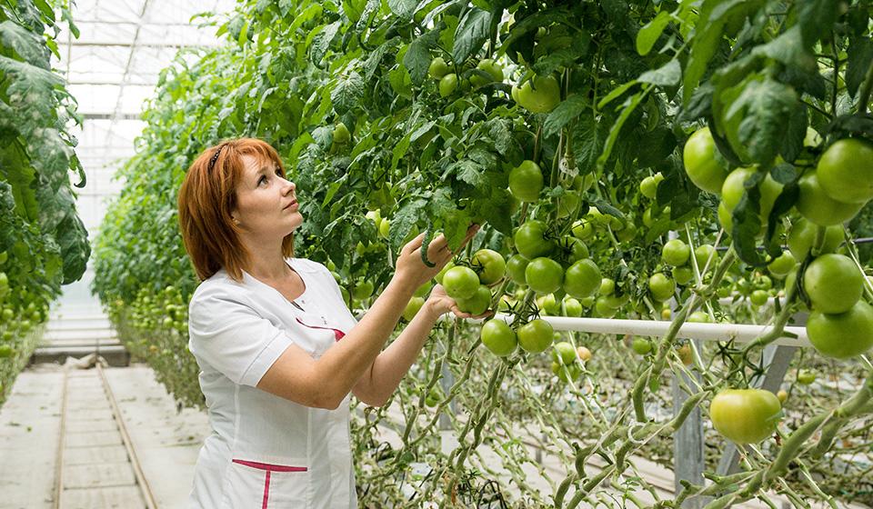 pomidory-dlya-teplits-foto-video-luchshie-novye-sorta-nazvaniya-opisanie-1