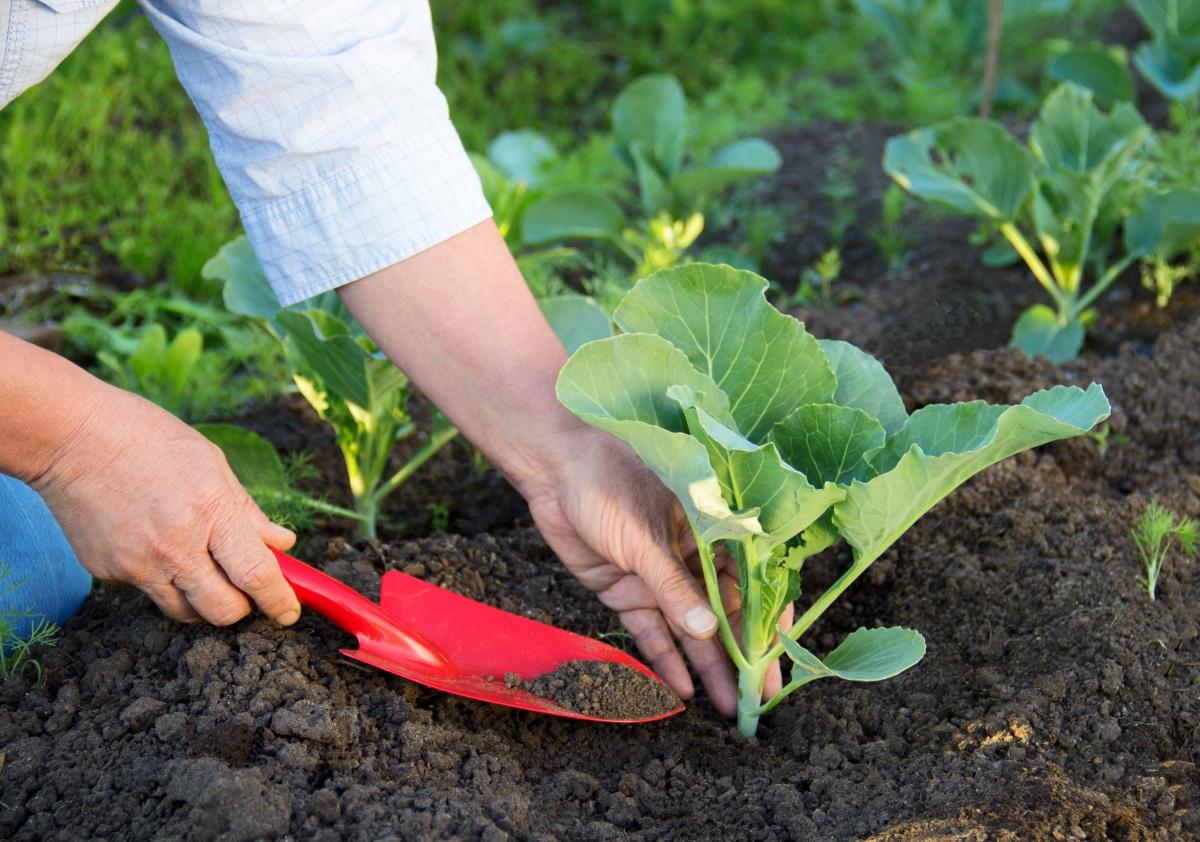 vyrashhivanie-kapusty-na-semena-kak-vybrat-i-vyrastit-semena-rannej-kapusty-6