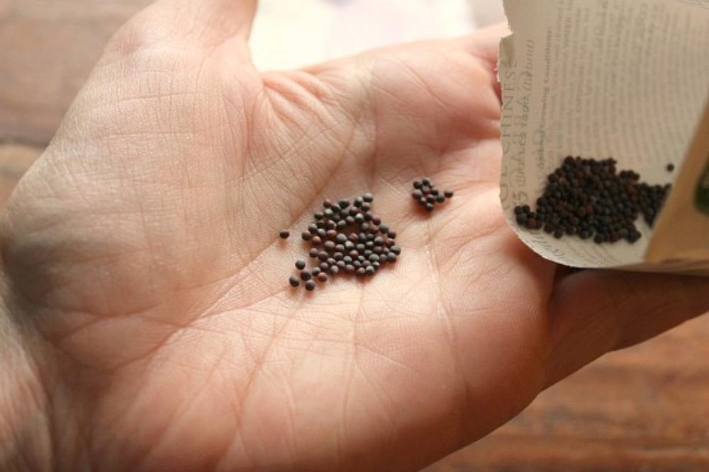vyrashhivanie-kapusty-na-semena-kak-vybrat-i-vyrastit-semena-rannej-kapusty-7