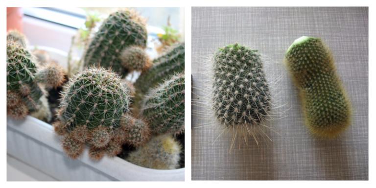 kaktusy-foto-video-opisanie-razmnozhenie-kaktusov-uhod-12