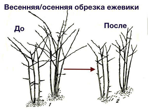 ezhevika-foto-video-opisanie-sorta-obrezka-formirovanie-kustov-posadka-i-uhod-9