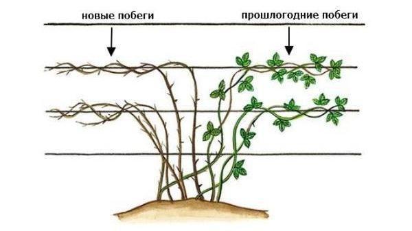 ezhevika-foto-video-opisanie-sorta-obrezka-formirovanie-kustov-posadka-i-uhod-15