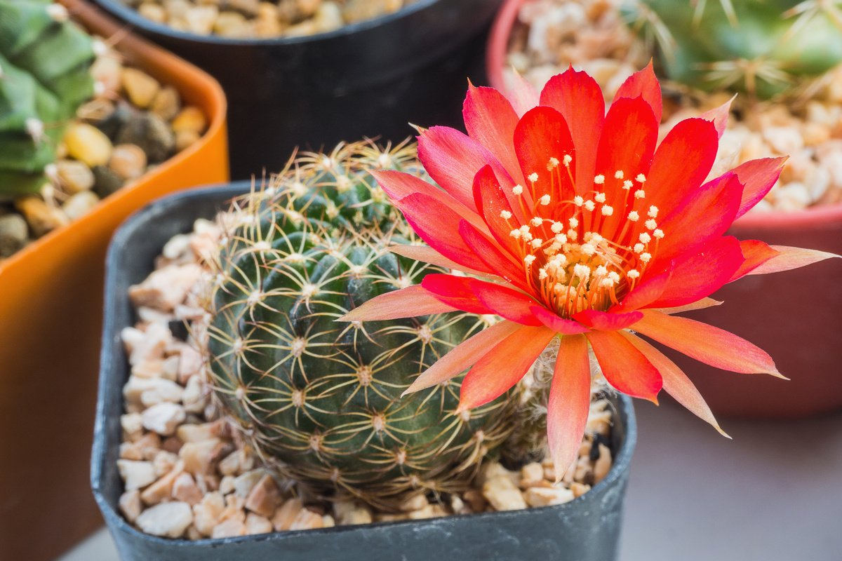 kak-zastavit-czvesti-kaktus-prichiny-pochemu-ne-czvetut-kaktusy-1