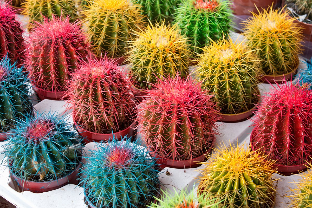 kak-zastavit-czvesti-kaktus-prichiny-pochemu-ne-czvetut-kaktusy-2
