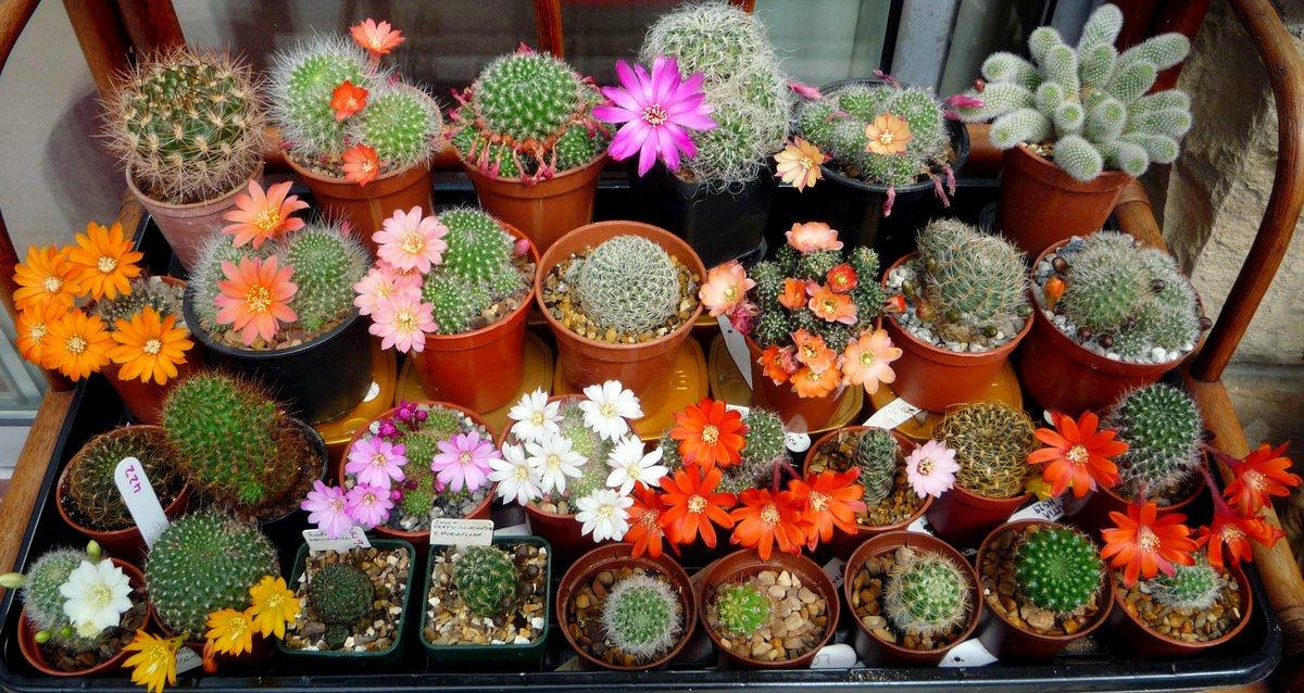 kak-zastavit-czvesti-kaktus-prichiny-pochemu-ne-czvetut-kaktusy-3