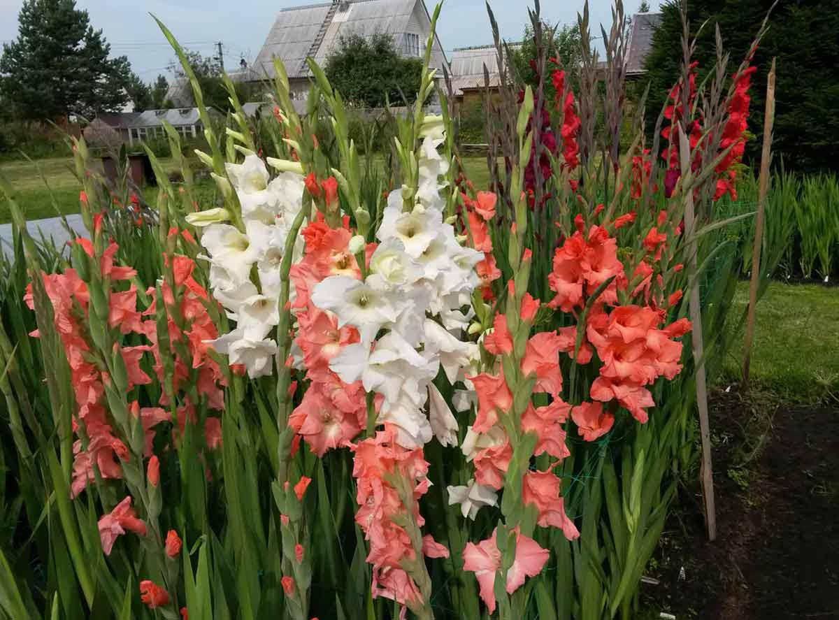 pochemu-gladiolusy-vyanut-sohnut-i-ne-uspevayut-raspustitsya-8
