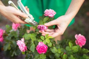 uhod-za-rozami-pravila-uhoda-vesnoj-letom-osenyu-zimoj