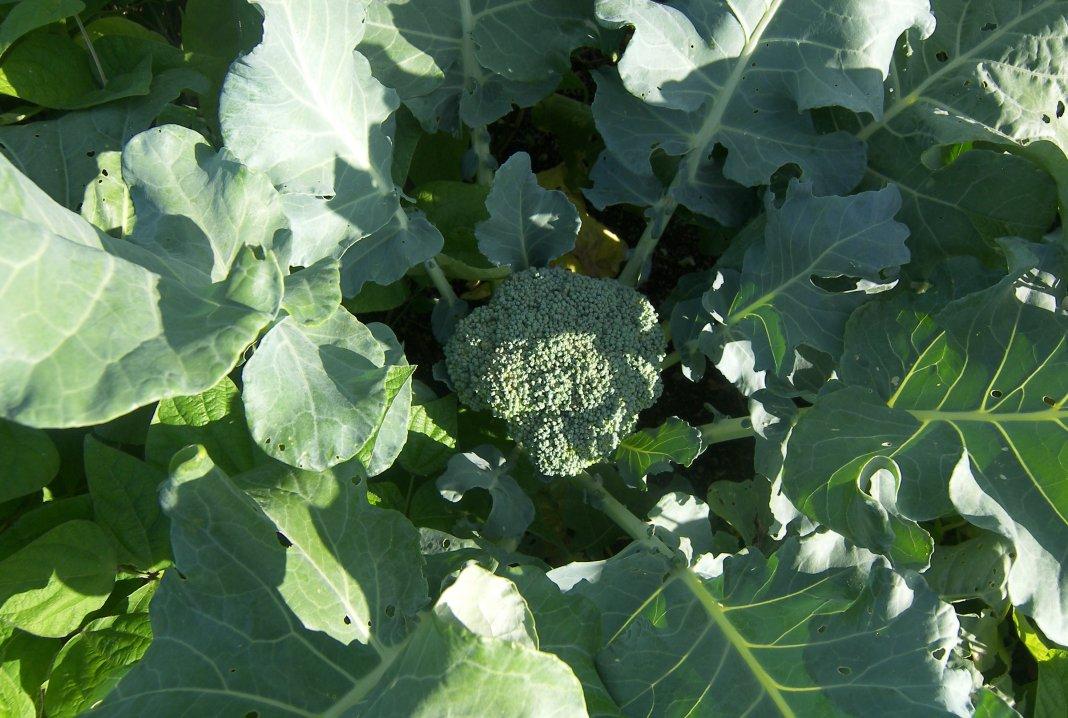 kapusta-brokkoli-foto-opisanie-sorta-posadka-i-uhod-v-otkrytom-grunte-2