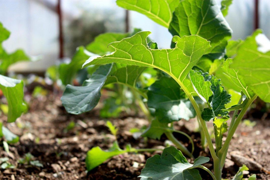 kapusta-brokkoli-foto-opisanie-sorta-posadka-i-uhod-v-otkrytom-grunte-5