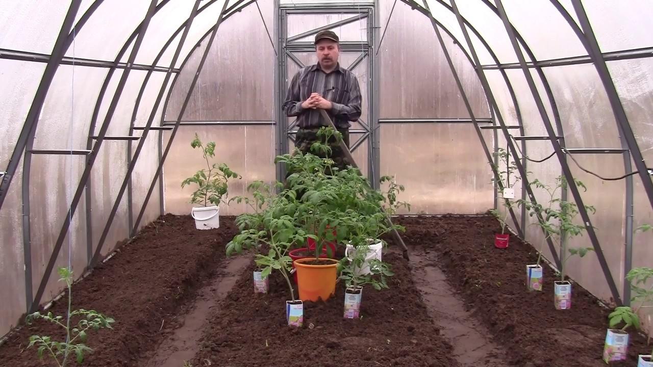 posadka-rassady-tomatov-v-tepliczu-pravila-peresadki-rassady-perczev-1