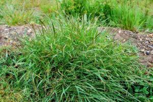 trava-pyrej-foto-opisanie-metody-borby-s-sornyakom-poleznye-svojstva