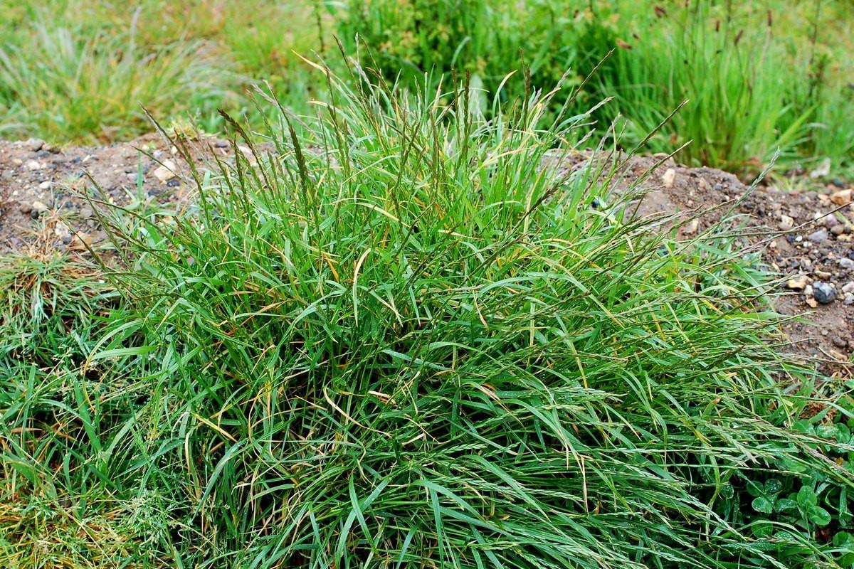 trava-pyrej-foto-opisanie-metody-borby-s-sornyakom-poleznye-svojstva-1