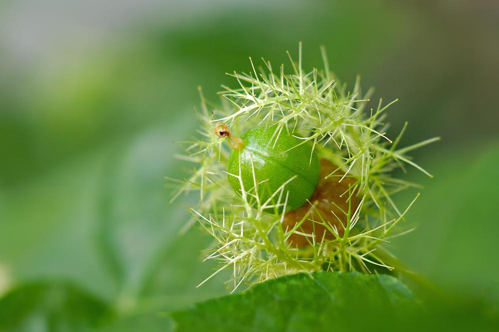 passiflora-foto-video-opisanie-vidy-uhod-v-domashnih-usloviyah-10