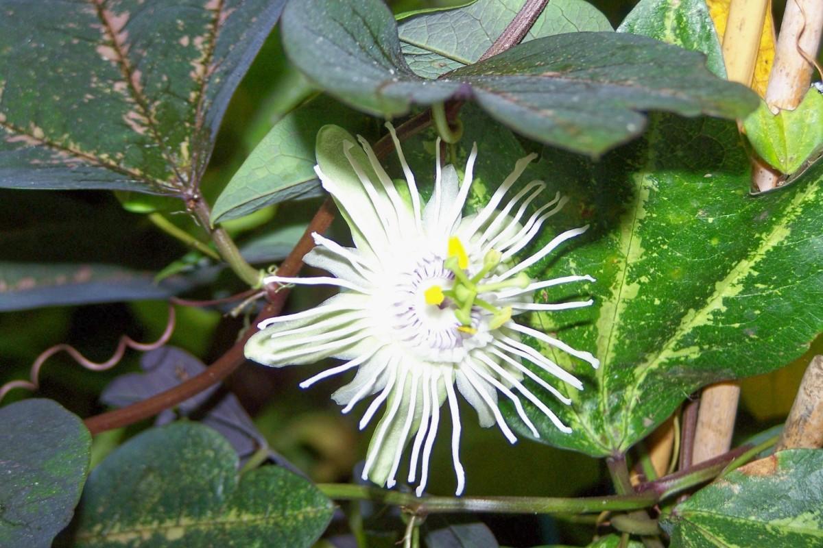passiflora-foto-video-opisanie-vidy-uhod-v-domashnih-usloviyah-14