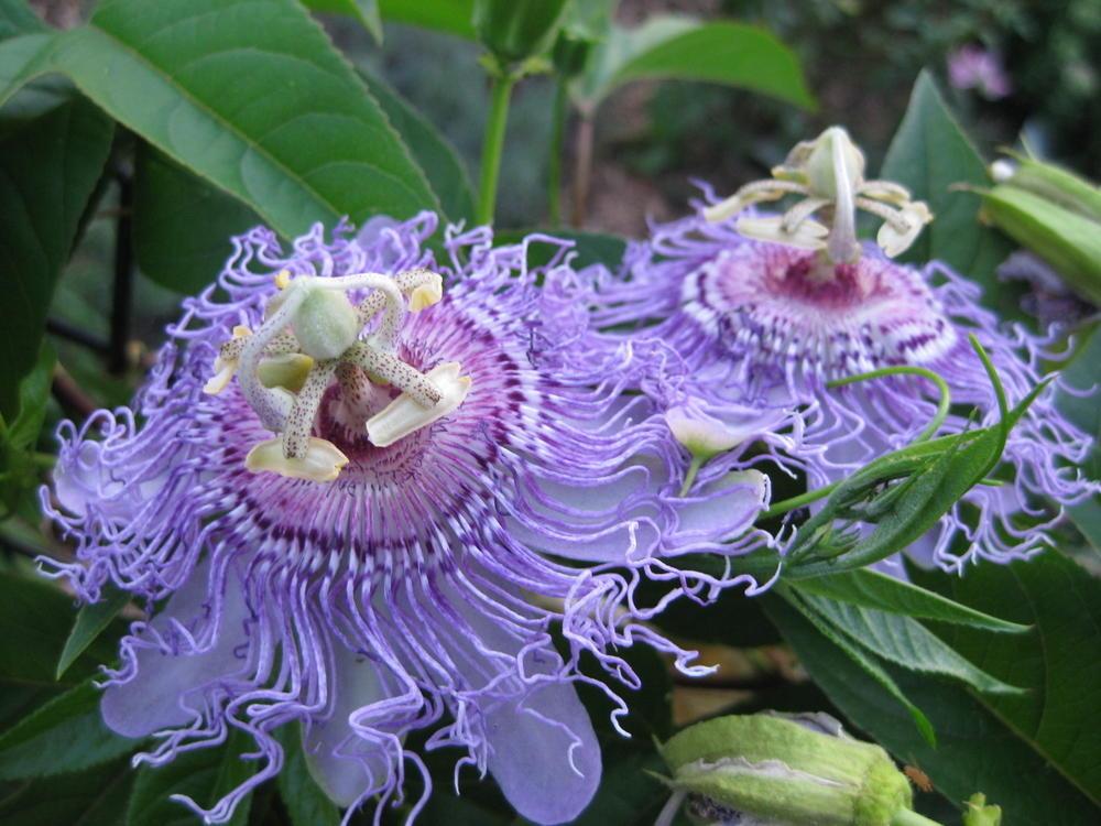 passiflora-foto-video-opisanie-vidy-uhod-v-domashnih-usloviyah-7