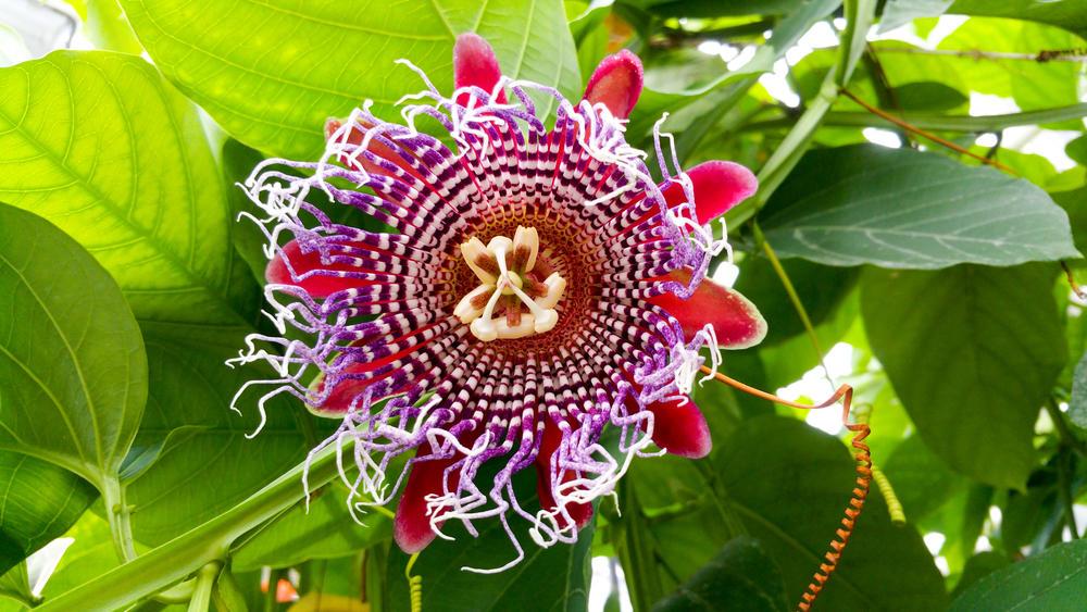 passiflora-foto-video-opisanie-vidy-uhod-v-domashnih-usloviyah-2