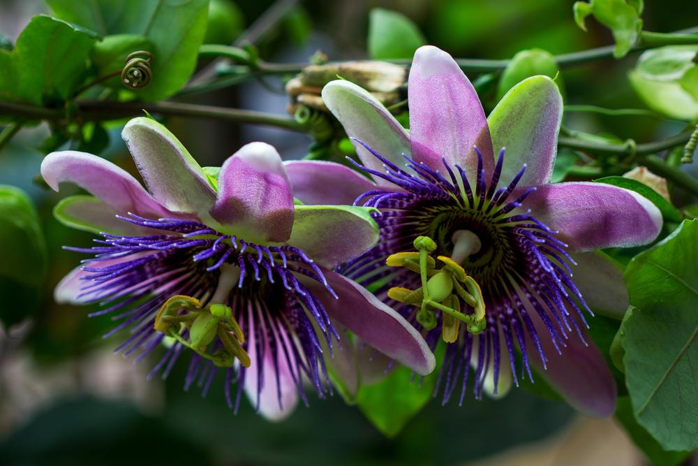 passiflora-foto-video-opisanie-vidy-uhod-v-domashnih-usloviyah-3