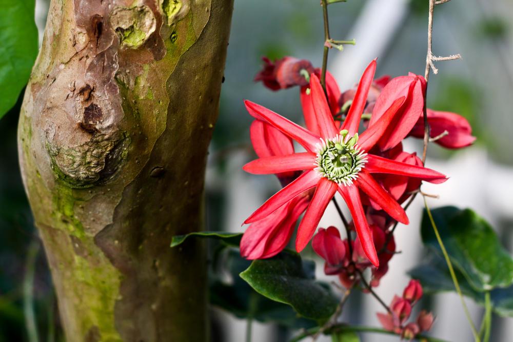 passiflora-foto-video-opisanie-vidy-uhod-v-domashnih-usloviyah-23