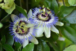 passiflora-foto-video-opisanie-vidy-uhod-v-domashnih-usloviyah